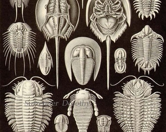 Trilobite Horseshoe Crab Shell Formations Haeckel Vintage Print Natural History Oceanography Victorian Scientific Lithograph