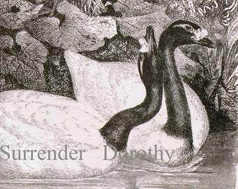 Black Necked Swan Vintage Victorian Era Ornithology 1870s Natural History Engraving To Frame