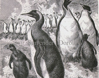 Emperor Penguin Bird Vintage Victorian Ornithology 1870s Black & White Natural History Engraving To Frame