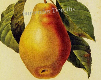 Pear Poire Tarquin Redoute Vintage Fruit Botanical Lithograph Agriculture Print To Frame 133