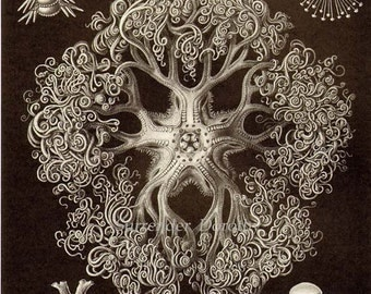 Starfish Giant Basket Star & Coral Haeckel Print Natural History Oceanography Victorian Scientific Lithograph To Frame