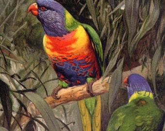 Rainbow Lorikeet Bird Allfarbloris Vintage Ornithology Print Natural History Lithograph Illustration Edwardian Era Germany 1911