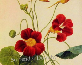 Nasturtium Tropacolum Majus Vintage Illustration Redoute Wild Flower Lithograph Botanical Print To Frame 102
