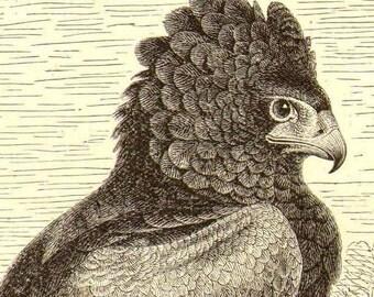 Batelour Eagle Bird Africa Antique Engraving Vintage Ornithology Illustration 1905 Edwardian Era Natural History To Frame