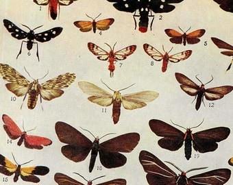Cosmosma, Syntomeida Moth Chart 1907 Entomology Vintage Natural History Edwardian Rotogravure Illustration XIII