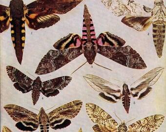 Cocytius Hyloicus Dolba Moth Chart 1907 Entomology Vintage Natural History Original Edwardian Rotogravure Illustration Shades Of  Autumn V