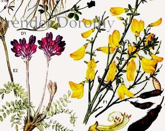 Wild Pea Legume Flowers Botanical Exotica Of Europe Vintage Illustration To Frame 10