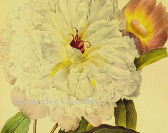 Double White Peony Paeonia Suffruticosa Redoute Flower Vintage Illustration Wildflower Lithograph Botanical Print To Frame 49