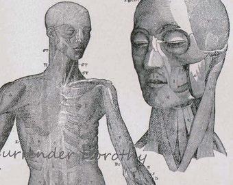 Human Anatomy Muscular System Anterior View Vintage Victorian Antique Medical Chart 1892 Original