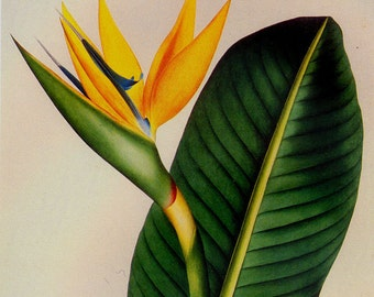 Bird Of Paradise Strelitzia Reginae Prestele Vintage Poster Print  Botanical Lithograph To Frame 131