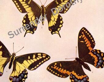 Papilio Swallowtail Butterflies 1900 Entomology Edwardian Rotogravure To Frame XL