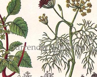 Fennel Cathartic Ramno Tansy  Wood Sorrel 1907 Healing Medicinal Plants Edwardian Botanical Chart To Frame III