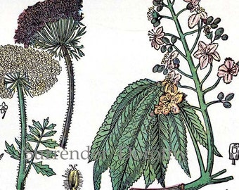 Horse Chestnut Carrot Flax Wormwood 1907 Vintage Healing Medicinal Plants Original Botanical Chart To Frame XI