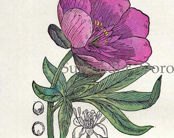 Peony St John Wort Wolf's Bane Lily Of The Valley Healing Medicinal Plant Vintage Botanical Print 1907 Herbalist Chart X