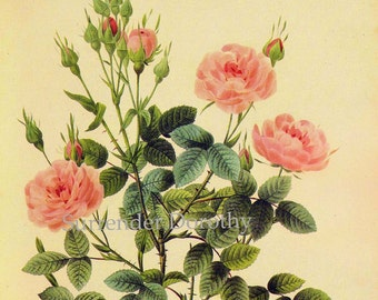 Pink Rose Rosa Centifolia De Meaux Vintage Wild Flower By Redoute Botanical Lithograph Poster Print To Frame 85