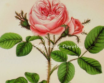Pink  Moss Rose Prestele Vintage Poster Print  Botanical Lithograph To Frame 269