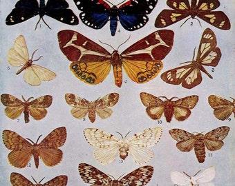 Grophalea, Olene, Porthetria Moth Vintage Lithograph Chart 1907 Entomology Antique Edwardian Natural History Rotogravure  XXXVIII