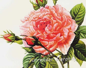 Royal French Rose Redoute Rosa Gallica Regalis Vintage Flower Botanical Lithograph Poster Print To Frame 16