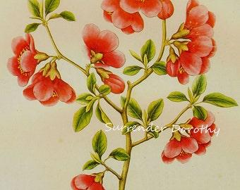 Japanese Crab Apple Pyrus Japonica Prestele Vintage Poster Print  Botanical Lithograph To Frame 283