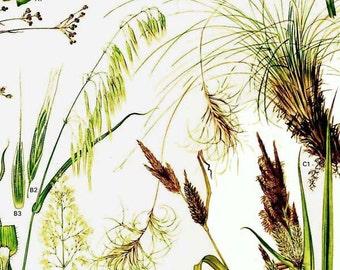 Flowering Ornamental Grasses Of Europe Botanical Exotica 1969 Large Vintage Illustration To Frame 25