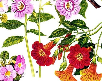 Strophanthus Flowers Himalayan Botanical Exotica 1969 Large Vintage Illustration To Frame 103