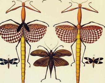 Walking Stick Katydids & Dragonfly Insects Seba Vintage Entomology Natural History Bug Lithograph Chart Poster Print