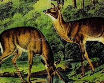 Virginian Deer Audubon Vintage Wild Animal Lithograph Print Natural History To Frame