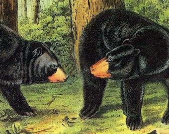 Black Bear Audubon Print Vintage North American Wild Animal Lithograph To Frame