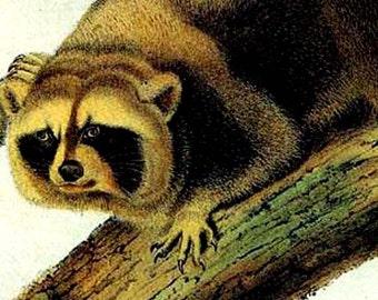 Raccoons Audubon Vintage Wild Animal Natural History Lithograph Print To Frame