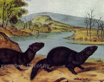 Mountain Brook Mink or Black Sable John J Audubon Wild Animal Natural History Lithograph Print To Frame