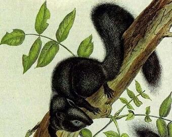 Black Squirrel Audubon Vintage Wild Animal Lithograph Natural History Print To Frame