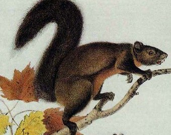 Long Haired Squirrel Audubon Wild Animal Lithograph Natural History Print To Frame