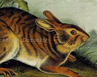 Swamp Hare Audubon Vintage Wild Animal Natural History Lithograph Print To Frame