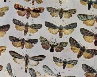 Graphiphora & Xylina Moth Chart Entomology Vintage Natural History 1900s Edwardian Rotogravure XXV Browns and Gray