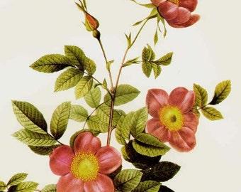 Alpine Brier Rose Redoute Rosa Pendulina Vulgaris Vintage Flower Botanical Lithograph Poster Print To Frame 136