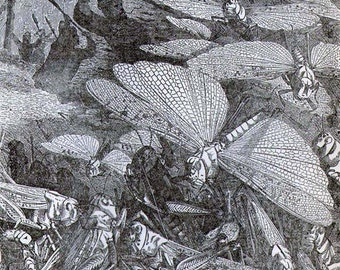 Great Swarm Of Migratory Locusts Antique Art Entomology Vintage Victorian 1887 Natural History Engraving To Frame