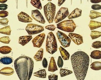 Cowrie Poisonous Cone Shells Indo Pacific & West Atlantic Seba Vintage Conchology Natural History Seashell Lithograph Chart Poster Print