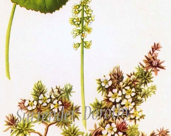Galax Flower Botanical Lithograph 1950s Vintage Art Print  To Frame Mid Century