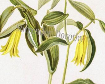 Wild Oats Bellwort Flower Botanical 1950s Vintage Wildflower Art Print To Frame 22