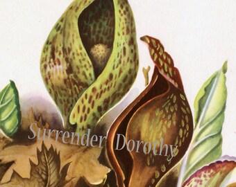 Skunk Cabbage Flower Botanical Wildflower Print 1950s Lovely Vintage Art To Frame 4