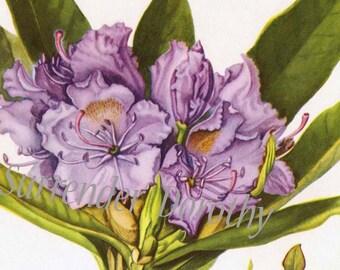 Mountain Rose Bay Flowers Vintage Botanical Print 1950s Mid Century Wildflowers To Frame 139