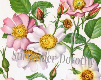 Prairie & Carolina Rose Wild Roses Flowers Vintage Botanical Lithograph 1950s Vintage Art Print To Frame 83
