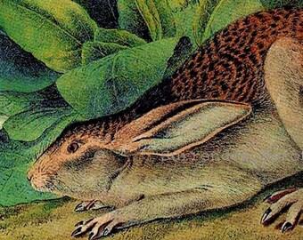 Black Tailed Hare Rabbit John J Audubon Naturalist Vintage Wild Animal Lithograph Print To Frame
