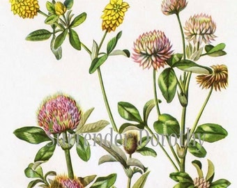 Clover Flowers Vintage Cottage Botanical Lithograph 1950s Art  Print To Frame 93