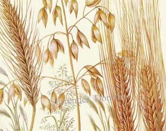Wheat Botanical Illustration Chart botanical lithographWheat Botanical Illustration