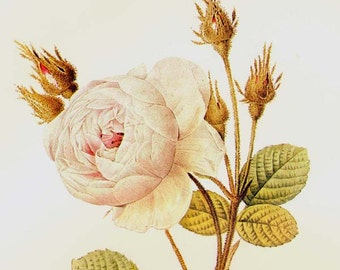 White Moss Rose Redoute Alba Rosa Vintage Flower Botanical Lithograph Poster Print To Frame 138