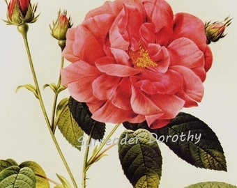 Pink Apothocary's Rose Redoute Rosa Gallica Officinalis Vintage Flower Botanical Lithograph Poster Print To Frame 42
