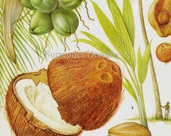 Coconut Palm Tree Tropical Fruit Chart Food Botanical Lithograph Illustration For Your Vintage Kitchen 19