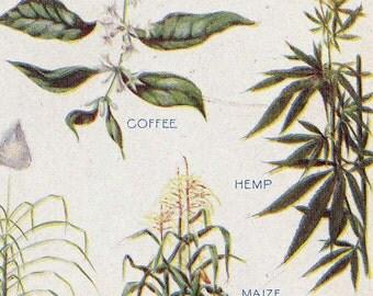 Hemp & Valuable Plants Chart Edwardian Era 1912 Botanical Lithograph Illustration For Framing