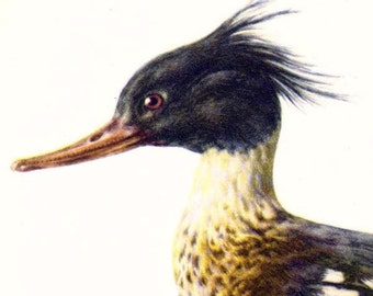 Merganser Duck Bird Ornithology Natural History Lithograph Print 1960s Illustration To Frame 74